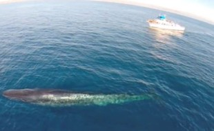 Whale Watching via Drone